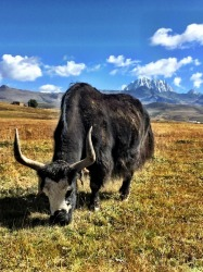 Walking through the Tibetan grasslands of Tagong, you come face to face with herd's of yaks cared for by nomadic Tibetan farmers. Mount Yala (Mt Yara) in the distance makes a spectacular backdrop.