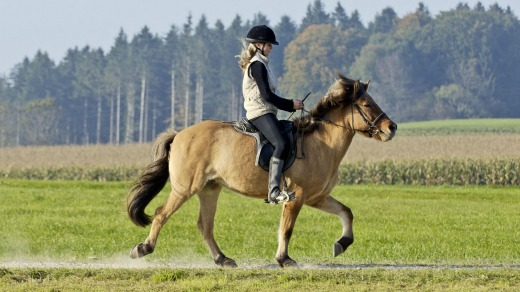 Icelandic horses have a couple of extra gaits not found in other breeds; one is called the tolt.