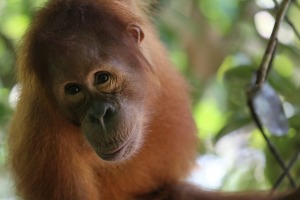 Raw Wildlife Encounters help with conservation efforts for orangutans.