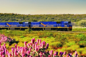 The Indian Pacific passing desert wildflowers.