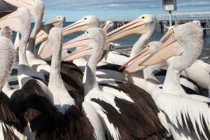 Only an idiot would miss pelican feeding on Kangaroo Island.