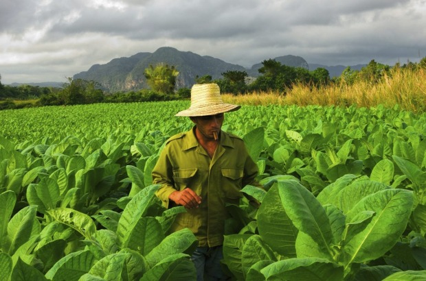 A Cuban farmer searching for a perfect tobacco leaf in Viales, Cuba.