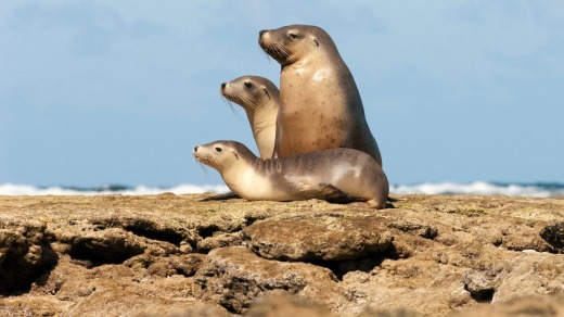 Sea lions sitting on the rocks, Baird Bay, Eyre Peninsula, South Australia.