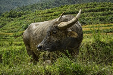 Throughout Vietnam, we saw these docile water buffalo - equal parts pet, livestock and farm labourer.