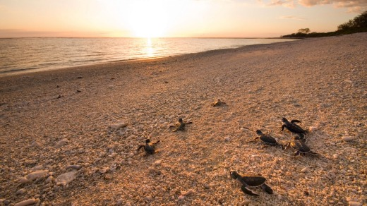 Young green turtles make their journey from the nest to the water.