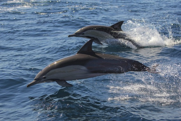 Dolphins at Port Stephens.