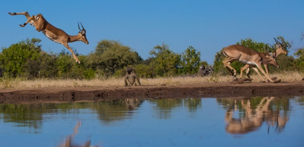 The winner of The Big Picture 2015: These impala bucks were frisky one winter's morning,  entertaining a baboon as they ...