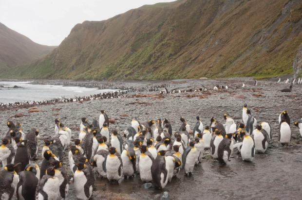 Macquarie Island is home to important wildlife, including penguins.