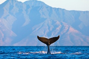Humpback whale doing tail slaps with the peaks of Molokai in the background.