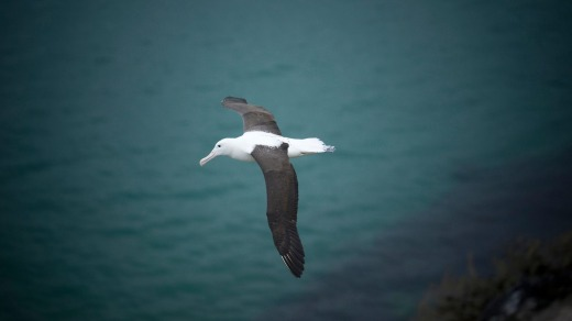 Royal Albatross on the wing at Fort Taiaroa, Otago Penninsula, New Zealand.