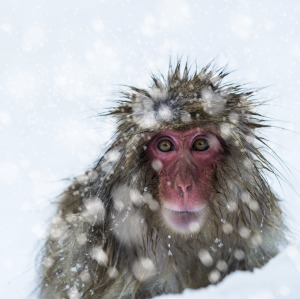 An adult snow monkey forages for food in the snow at Jigokudani Monkey Park in Japan.