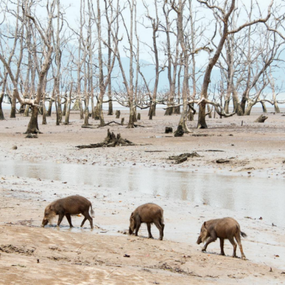 A family of bearded pigs scavenging at low tide for the next meal, Bako National Park, Borneo.