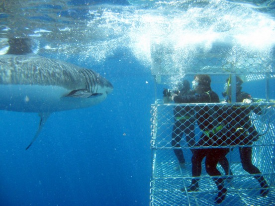 GREAT WHITE SHARKS: The Neptune Islands off South Australia's Eyre Peninsula are the only place in Australia where shark ...