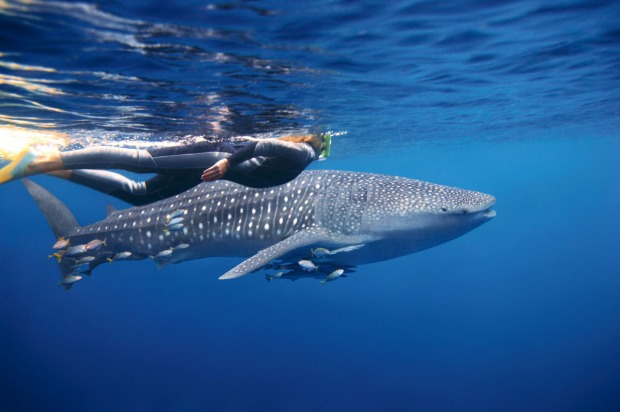 WHALE SHARKS: The biggest fish on earth – weighing up to 15 tonnes and getting up to 12 metres in length – are whale sharks.