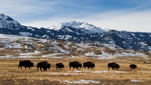 Migrating bison at Yellowstone National Park.