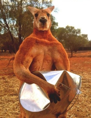 Roger the kangaroo made headlines around the world for his workout regiment, which includes crushing metal buckets.