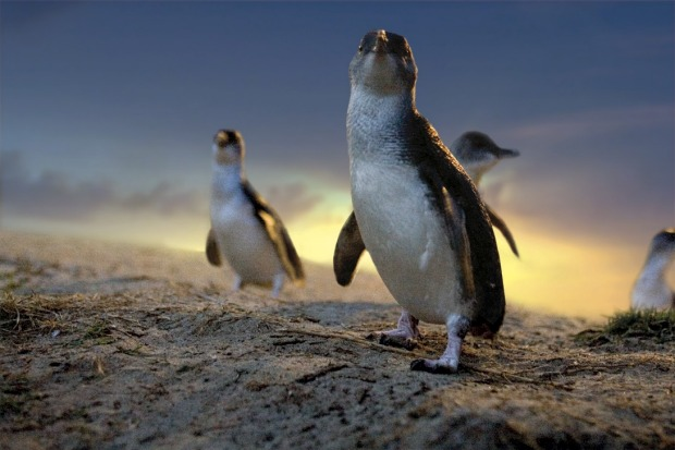 The Phillip Island Penguin Parade: Every day, scores of tour buses pile down from Melbourne to Phillip Island to see the ...