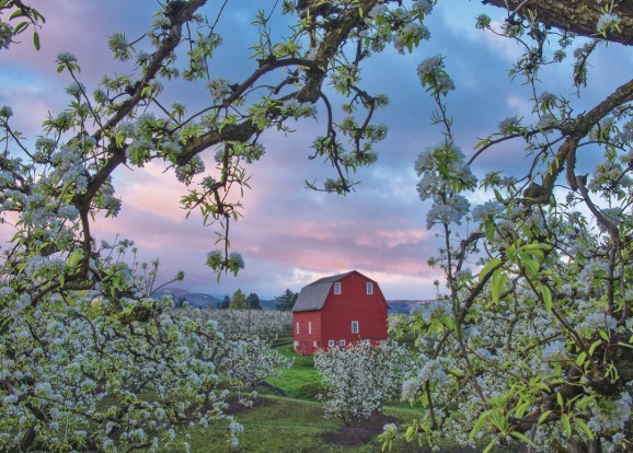 Orchards and barns in the Hood River region of Oregon.