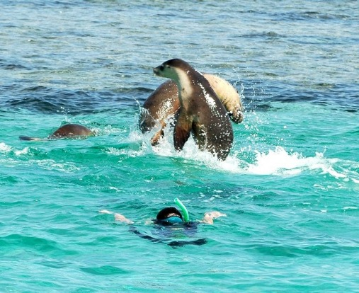 Its tours allow guests to get in the shallow waters around the island, where the sea lions like to splash, play and ...