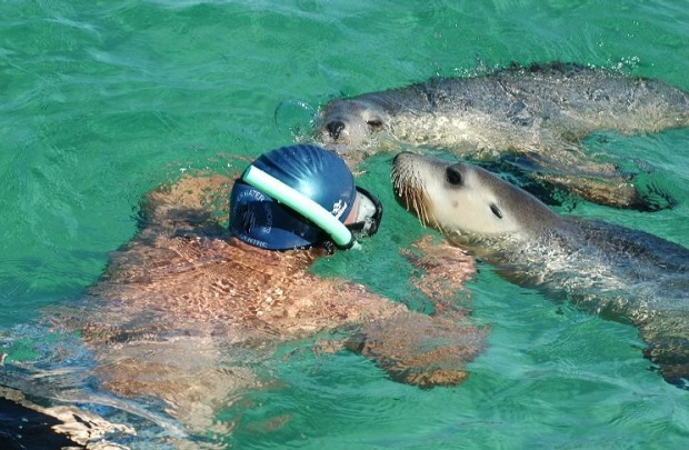 SEA LIONS: Jones Island off the Eyre Peninsula's Baird Bay is a bit of a haven for Australian sea lions, and Baird Bay ...