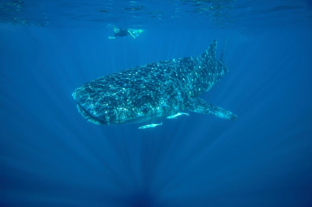 They can be found hanging out off the Ningaloo Reef in Western Australia between April and July.