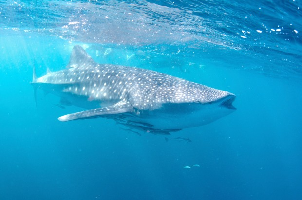 Ningaloo Blue is among a number of operators that take swimmers out to meet the lovably docile giants from Exmouth.