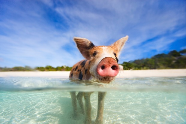 PIGS: Nobody quite knows how a family of pigs got to the otherwise uninhabited Big Major Cay in the Bahamas, but they've ...