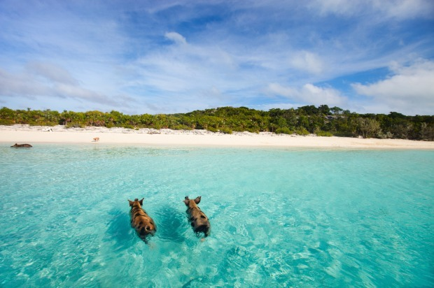 The beach – now Pig Beach – has been named in their honour.