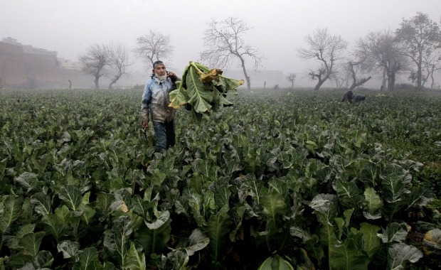 A farmer collects cauliflower harvested from a field on the outskirts of Peshawar, Pakistan.