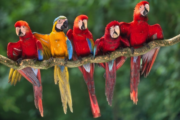 "Amazon, Peru: Rise early to see thousands of macaws feeding at an Amazonian ""clay lick""."