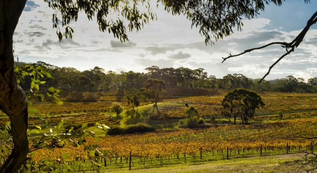 Vineyards in the Clare Valley, SA.