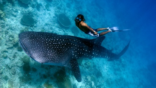 A diver gets up close with a whale shark.
