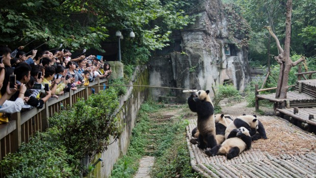 Tourists watching Pandas being fed.