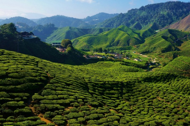 This is a photo taken in the Cameron Highlands in Malaysia at the Bharat tea plantation. We enjoyed a fine cup of tea ...