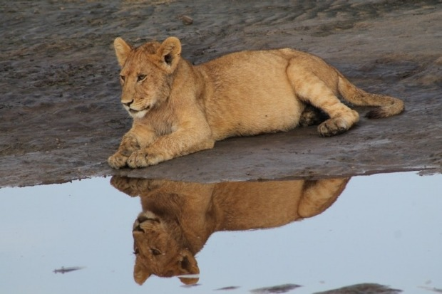 This was in the Ngorongoro Conservation Area in Tanzania where we visited in January 2016. A pride of lions were resting ...