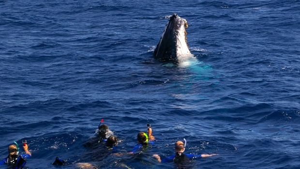 Swimming with humpbacks.