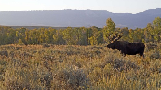 Moose in the sagebrush grasslands of Jackson Hole.