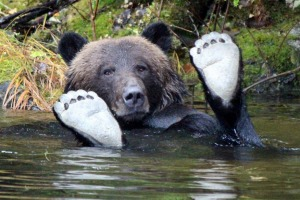 A bear enjoys a dip in a waterway in the Great Bear Rainforest.