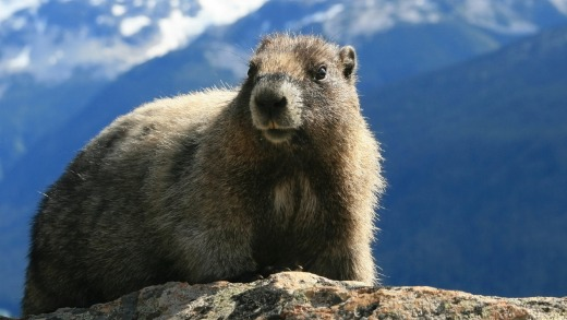 Whistler is named after the noise the marmots that inhabit the mountain make.