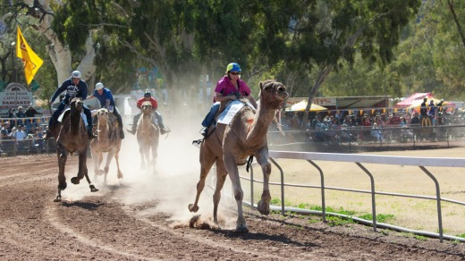 Riders leave a trail of dust in the Uluru Camel Cup.