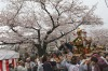 Participants carry a portable shrine while parading under cherry blossoms in Yokohama, near Tokyo. People all over the ...