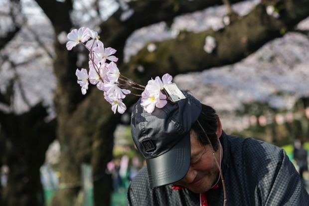 People enjoy  time under the cherry blossoms trees at Ueno park in Tokyo, Japan.  During cherry blossom season thousands ...