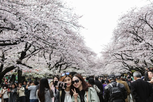 People take picture with cherry blossoms at Ueno park in Tokyo, Japan.  During cherry blossom season thousands of people ...