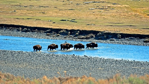 A band of bison ford the Lamar River in Yellowstone National Park.