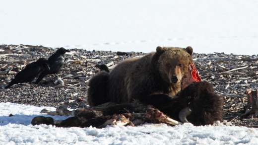 Grizzly bear on bison carcass near Yellowstone Lake.