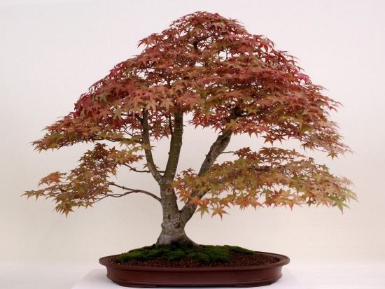 OMIYA BONSAI MUSEUM: Bonsai is a Japanese discipline in which miniature trees are grown, and carefully shaped, in ...