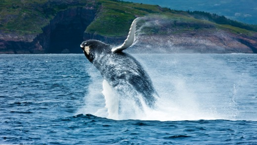 Whales and icebergs are a regular sight around many parts of the Newfoundland and Labrador coastline.