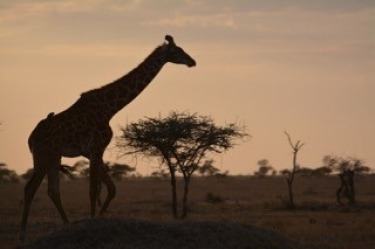 A small bird hitching a ride on a giraffe's back at dusk in the Serengeti.