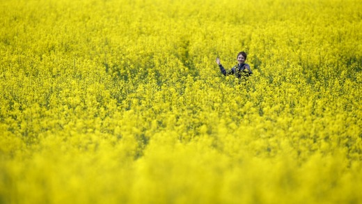 A boy plays in a rapeseed colza field near the village of Svisloch, 30 km east of the Belarus capital Minsk.