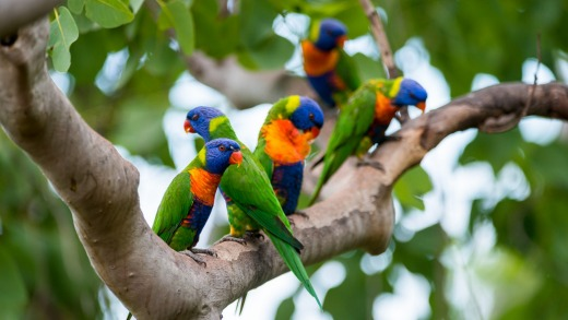 Rainbow lorikeets at the Thala Beach Nature Reserve.